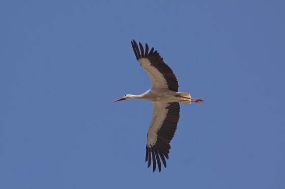 stork-65785_640